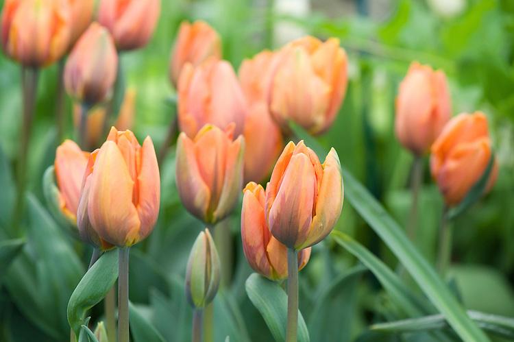 Tulip 'Princess Irene' (Triumph Group), mid May.