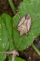 Nördliche Fruchtwanze, Carpocoris fuscispinus, syn. Carpocoris mediterraneus atlanticus, Shield Bug, Mediterranean stink bug, Red shield bug, skull shield-bug