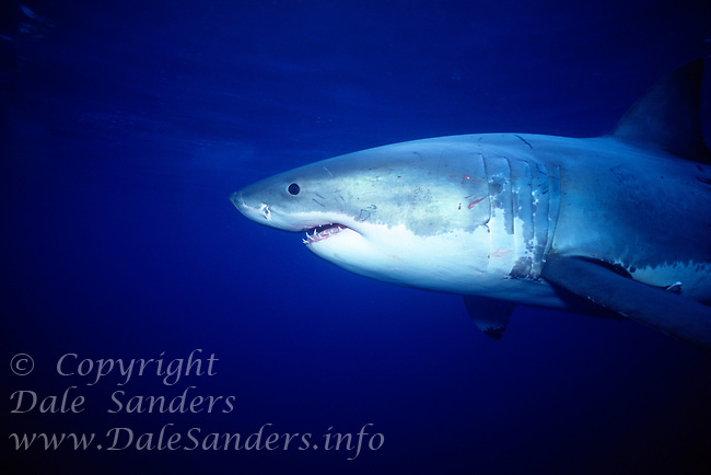 Great White Shark (Carcharodon carcharias) underwater off Guadalupe Island, Mexico.