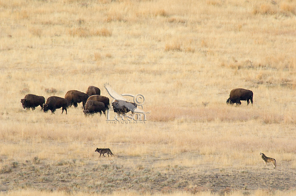 Wild Gray Wolves (Canis lupus) checking out herd of bison in Lamar Valley.  Yellowstone National Park, Wy,  Fall.