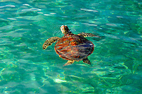 The green sea turtle (Chelonia mydas), also known as the green turtle, black (sea) turtle, or Pacific green turtle, is a large sea turtle of the family Cheloniidae. It is the only species in the genus Chelonia. Its range extends throughout tropical and subtropical seas around the world, with two distinct populations in the Atlantic and Pacific Oceans.