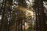 Godlight in the forest in Oregon Coast Range.