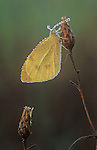 common sulphur butterfly with dew