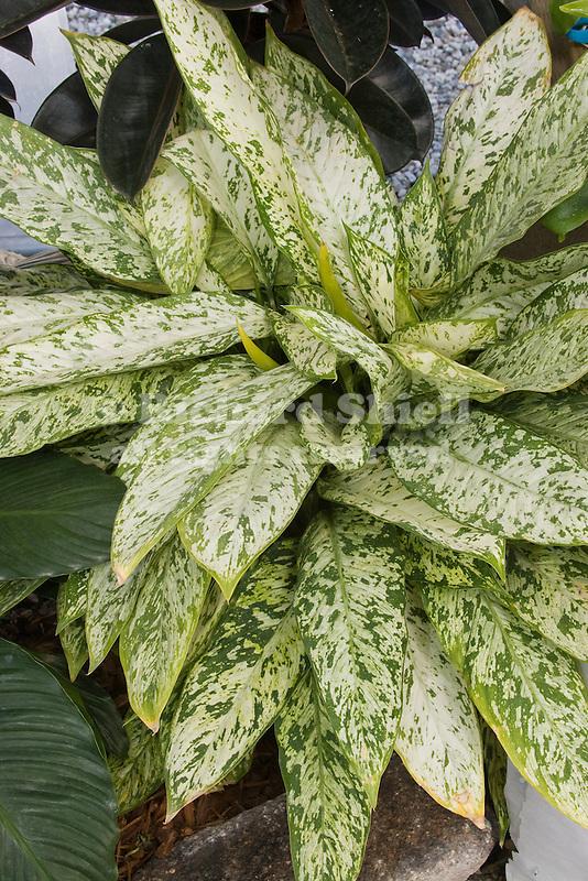 Tropical Breeze Diffenbachia hybrid