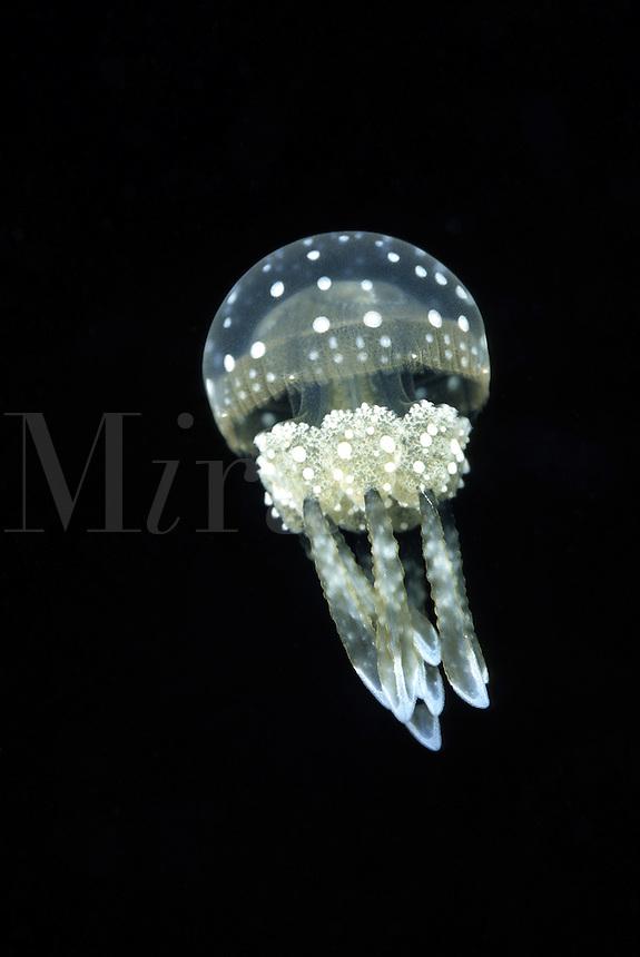 Scyphozoa jellyfish