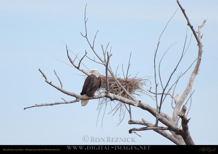 Bald Eagle with Nest, Bosque del Apache Wildlife Refuge, New Mexico