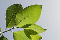 Salweide, Sal-Weide, Sal - Weide, Salix caprea, Blätter, Blatt vor blauem Himmel, Goat Willow, Pussy Willow, Sallow