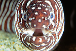 Zebra moray eel, Pacific Ocean