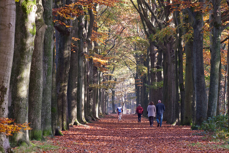 Beukenlaan (Fagus sylvatica), de Zoom - Brabants Landschap