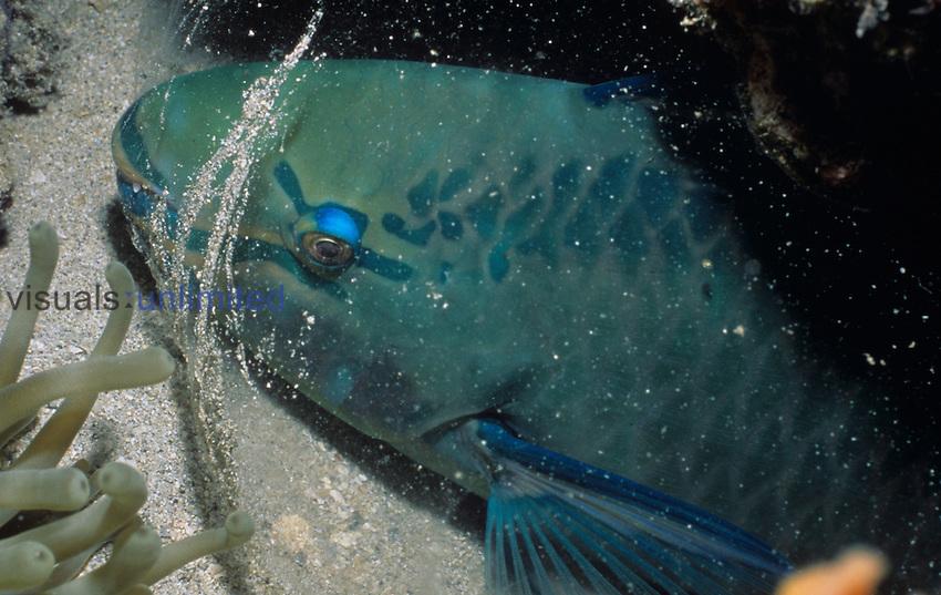 Parrotfish asleep in its cocoon.  ,Scarus, British Virgin Islands