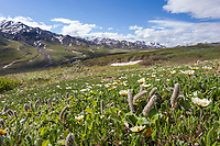 Mountain Aven flowers decorate the spring tundra in Highway Pass, Denali National Park, Alaska