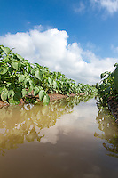Potato crop flooded following heavy rainfall - Lincolnshire, July