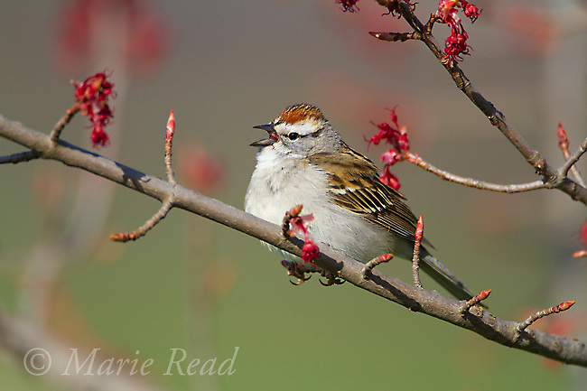 Chipping Sparrow (Spizella passerina) male singing in spring, perched in flowering red maple (Acer rubrum), Interlaken, New York, USA