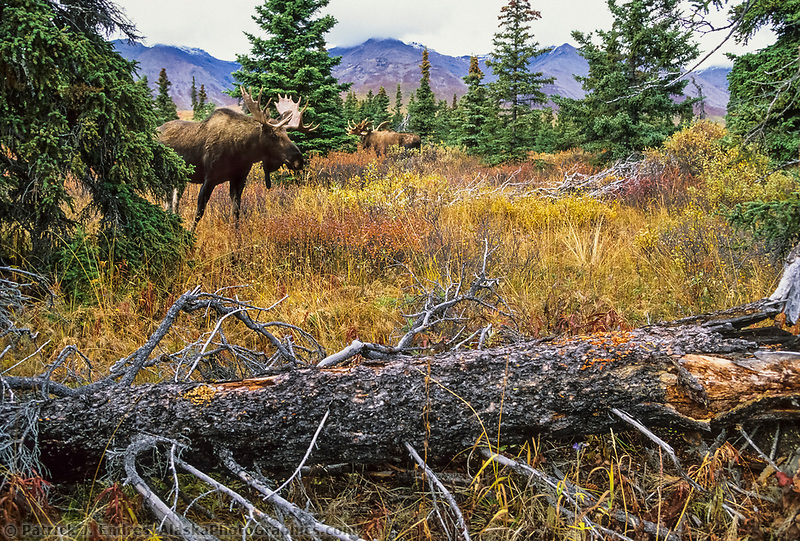 Bull moose, autumn tundra, boreal forest, Denali National Park, Alaska