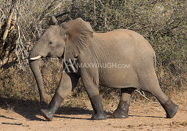 "An elephant leaves a watering hole with wet ""boots."""