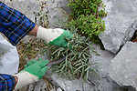 ALBANIA, Berat, collecting of wild natural herbal and medical plants in the mountains for export company GJEDRA- medicinal and aromatic plants, wild sage / ALBANIEN, Berat, Sammeln von wilden Heilkraeutern in den Bergen fuer Export Firma Gjedra, wilder Salbei