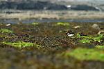 Huîtrier pie :  Haematopus ostralegus  .Eurasian Oystercatcher Inishmore island