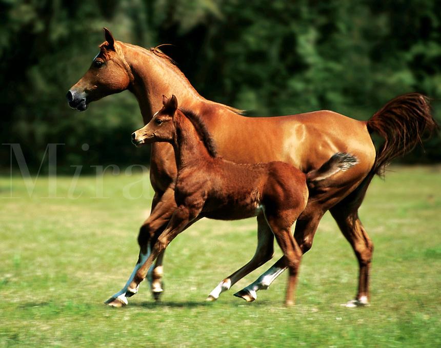 Arabian mare and foal gallop across paddock.