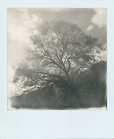 Tree in El Capitan Meadow, 2019, Yosemite, CA  Polaroid taken with SX-70