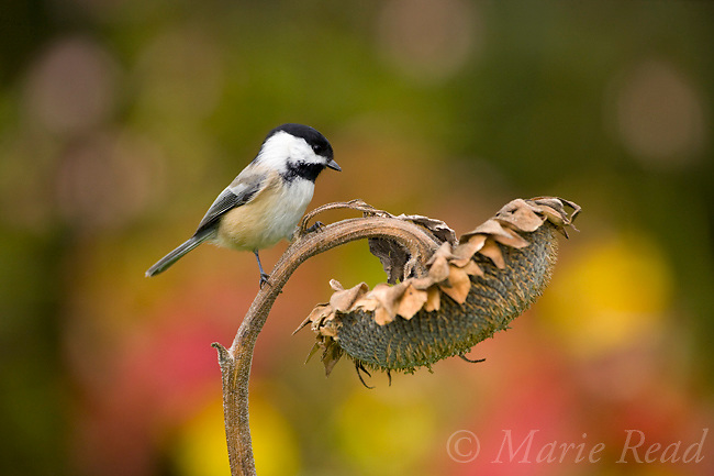 Black-capped Chickadee (Poecile atricapilla) attracted to feed from sunflower seedhead in autumn, New York, USA