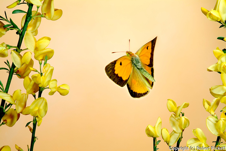 Clouded Yellow butterfly, Colias croceus, male, in flight, flying over broom flowers, high speed photographic technique, found Southern Europe, Migrant to UK.Europe....