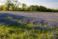 Bluebonnets bloom during annual spring wildflower season, Texas, USA