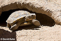 0609-1005  Desert Tortoise Emerging from Burrow to Forage for Food (Mojave Desert), Gopherus agassizii  © David Kuhn/Dwight Kuhn Photography