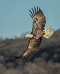 Adult Bald Eagle banking over the river, looking for fish