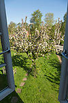 Looking out of upstairs window at decorative crab apple tree in blossom, Suffolk, England, UK