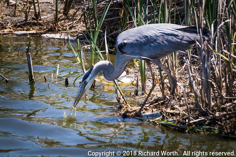With speed and accuracy, a Great blue heron's bill darts into the water and, with a splash, captures a bite to eat.