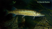 1123-1002  Northern Pike (Pickerel or Jackfish), Esox lucius  © David Kuhn/Dwight Kuhn Photography