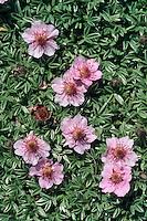 Dolomiten-Fingerkraut, Glanz-Fingerkraut, Triglav-Rose, Triglavrose, Potentilla nitida, Pink Cinquefoil