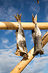 Cod fish drying outside on wooden pole, Svolvaer, Lofoten Islands, Nordland, Norway