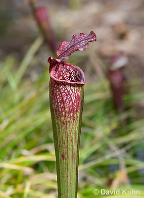 0506-1002  Pitcher Plant (Detail of Operculum, Peristome, Trap entrance, and Pitcher Tube),  Carnivorous Plant, Sarracenia spp.  © David Kuhn/Dwight Kuhn Photography.