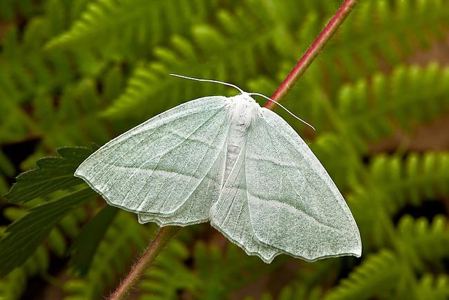 Pale Beauty moth.