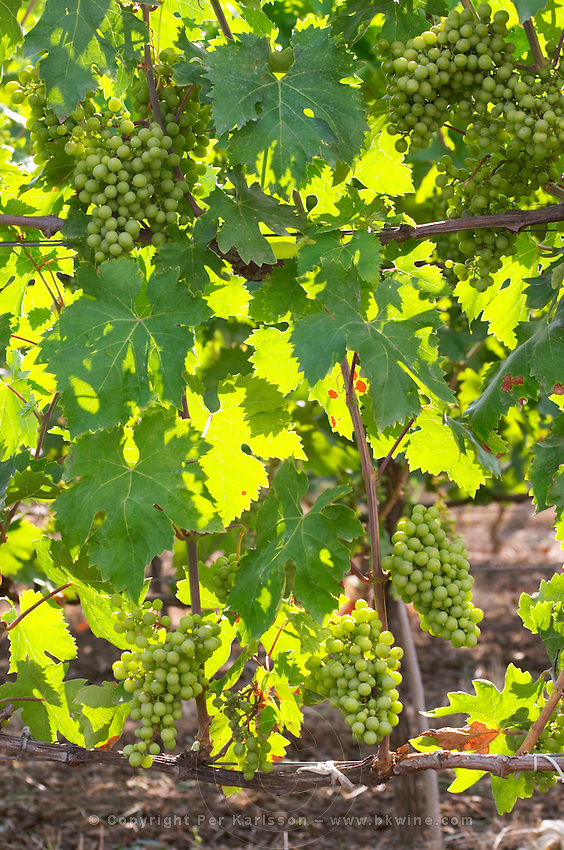 Vine with young grape bunches before veraison. Fidal vine nursery and winery, Zejmen, Lezhe. Albania, Balkan, Europe.