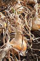 Onions drying in ground at california farm stand