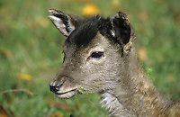 Damhirsch, Dam-Hirsch, Damwild, Jungtier, Portrait, Dam-Wild, Cervus dama, Dama dama, fallow deer