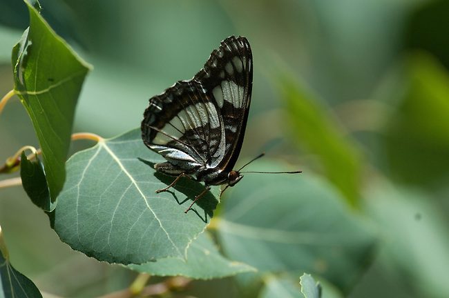 butterfly, Weidemeyer's Admiral, Linenitis weidemeyerii, aspen, leaves, Populus tremuloides, nature, foliage, insect, Cow Creek watershed, Rocky Mountain National Park, summer, Rocky Mountains, Colorado, USA