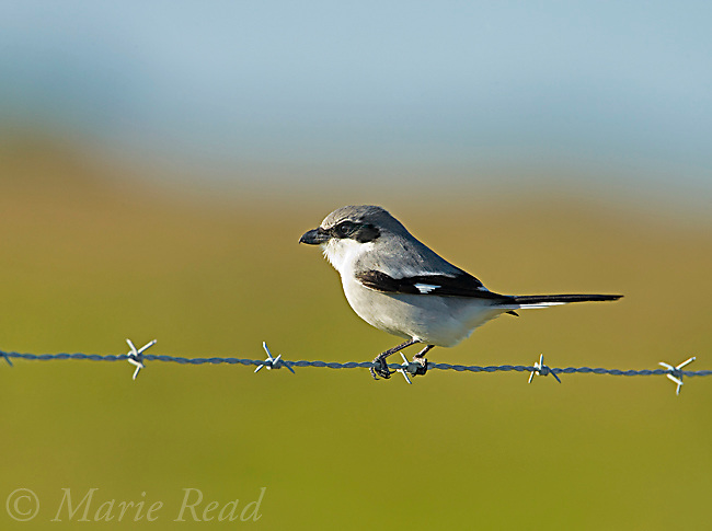 Loggerhead Shrike (Lanius ludovicianus), perched on barbed wire fence, Florida, USA