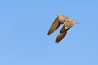 In-coming female Burchell's Sandgrouse