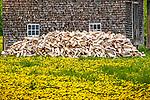 Dandelion field and farmhouse in Woodstock, VT