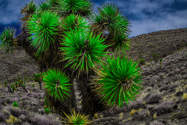 Joshua Trees at Death Valley National Park, California