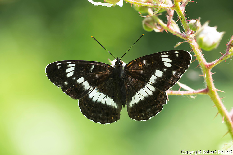 White Admiral Butterfly, Limenitis camilla, Thornden Woods, Kent UK, wings open