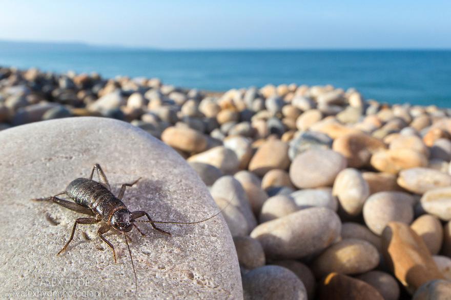 Scaly Cricket (Pseudomogoplistes vicentae) male in shingle beach habitat. Chesil Beach, Dorset, UK. June.