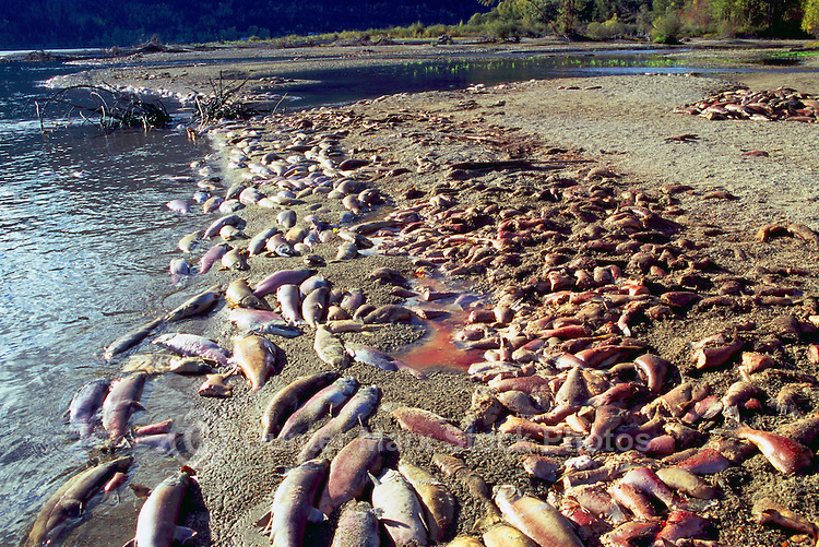 Annual Adams River Sockeye Salmon Run (Oncorhynchus nerka), Roderick Haig-Brown Provincial Park near Salmon Arm, BC, British Columbia, Canada - Dead Fish rotting along Shore of Shuswap Lake - note piles of dead fish on beach