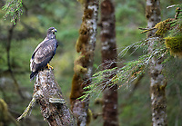 A juvenile Bald Eagle perches amidst the mossy trees of the Great Bear Rainforest.