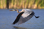 USA; California; Lakeside; San Diego:; Great Blue Heron flying in Lakeside