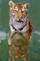684089324 a juvenile siberian tiger panthera tigris altaicia sits in a pond at a wildlife rescue facility - species is highly endangered in the wild  -  this animal is a wildlife rescue animal
