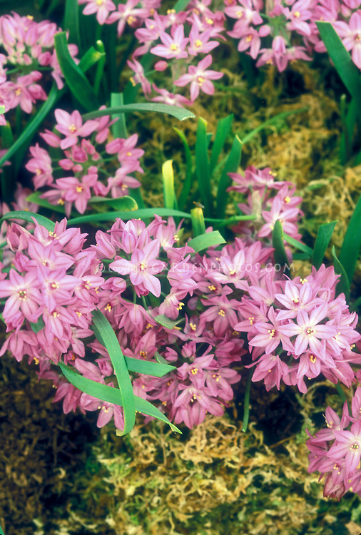 Allium oreophilum 'Zwanenburg' in pink flowers